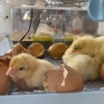 Learning Science with Chickens | chickens hatching in year 2 science at Quntilian School