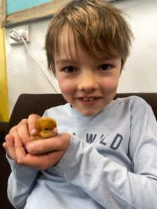 Learning Science with Chickens | chickens hatching in year 2 science at Quntilian School | Yound boy holding a newly hatched chicken